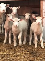 The COVID-19 pandemic is forcing sheep produces to look for new ways to market their lambs. (NDSU photo)