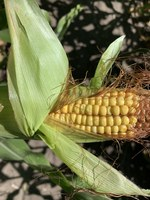 The impact of nitrogen fertilizer rates on corn is one of the topics for the Carrington Research Extension Center's virtual row crop program. (NDSU photo)