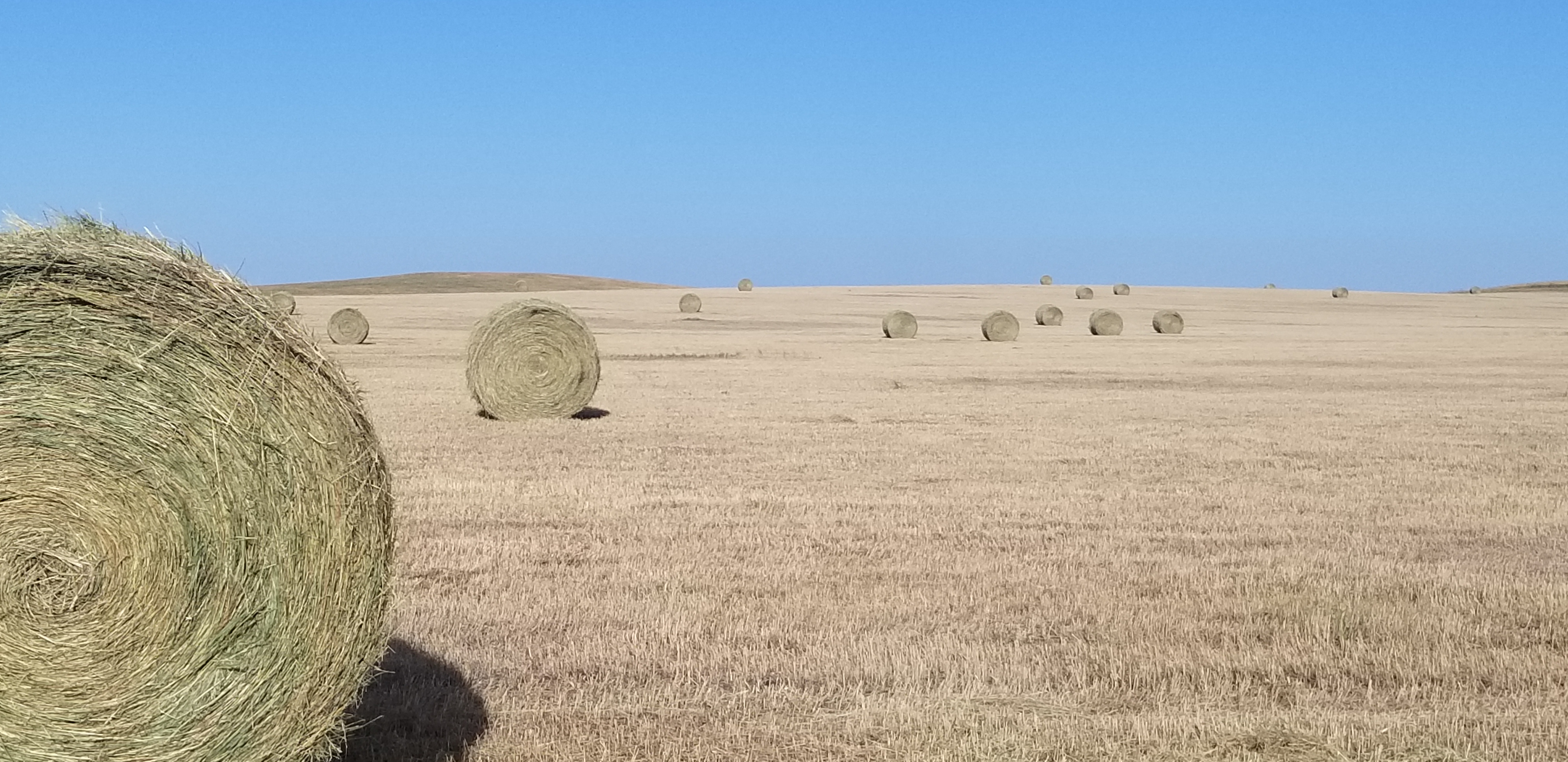 Harvested forages are a critical component of winter feeding programs for many cattle operations. (NDSU photo)