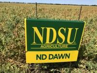 ND Dawn field peas (NDSU photo)