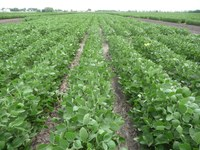 ND Dickey soybeans (NDSU photo)