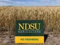 ND Frohberg hard red spring wheat (NDSU photo)