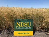 ND Noreen hard red winter wheat (NDSU photo)