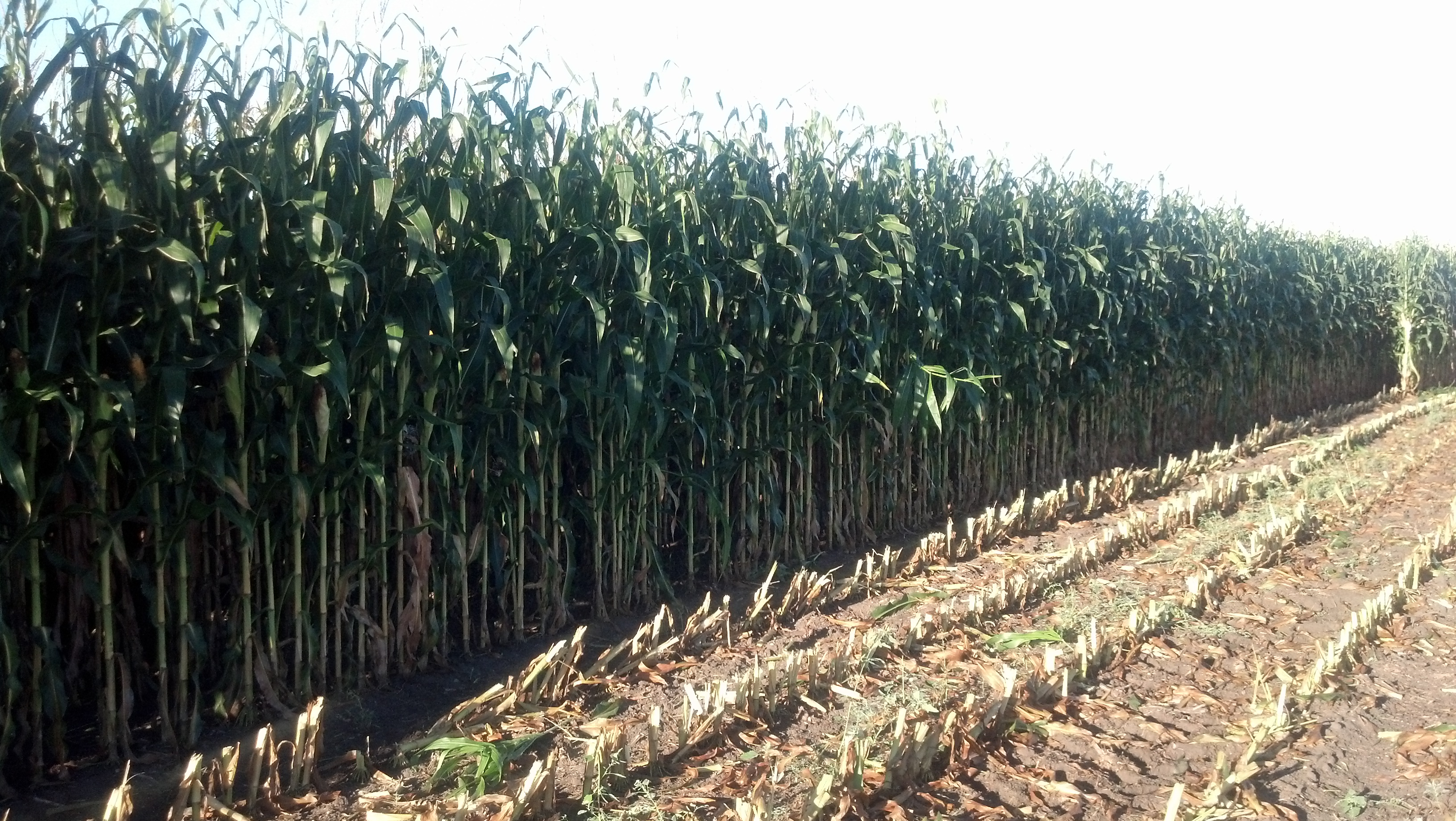 Learning what to do when the growing season ends before the corn crop is mature will be discussed at the Feb. 11 session. (NDSU Photo)