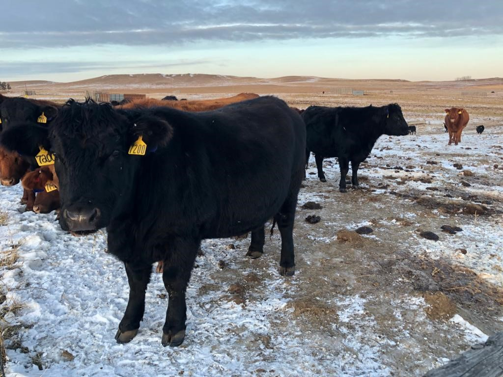 This cow herd at NDSU's Dickinson Research Extension Center is in the last trimester of gestation. (NDSU photo)