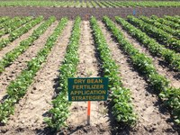 Dry Bean Fertilizer Trials.jpg (NDSU Photo)