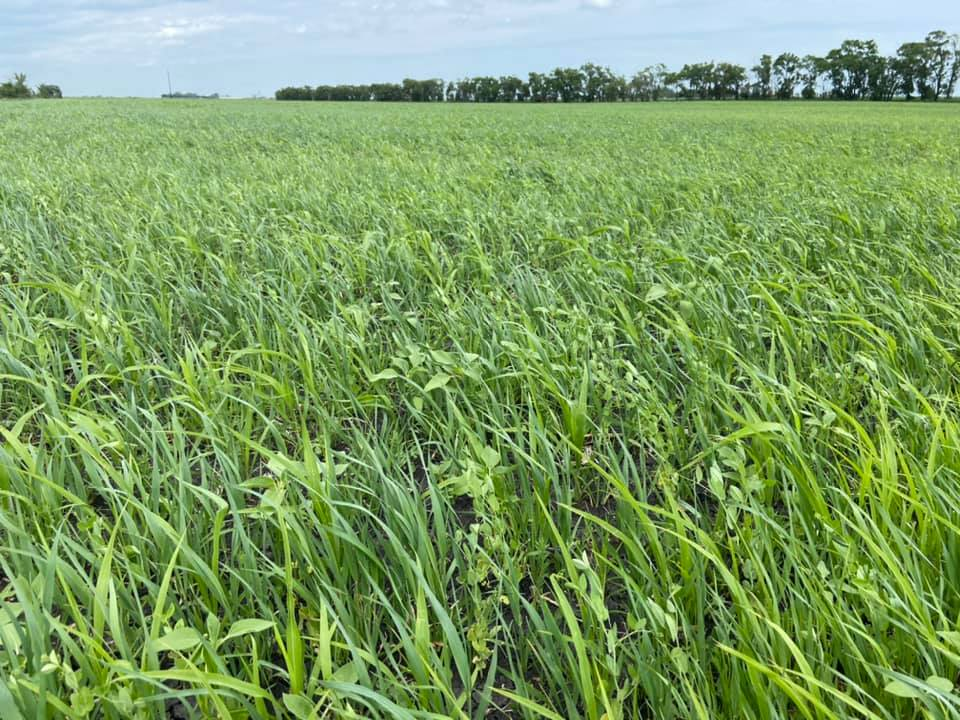 Cover crops may be viable forage options for hay production or grazing. (NDSU photo)