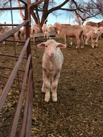 Producers need to evaluate their resources, time and risk aversion to determine if their 2020 lamb crop should stay or be sold. (NDSU photo)