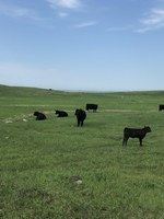 The impacts of patch-burn grazing, rotational grazing and traditional grazing on livestock performance will be one of the topics covered during the Central Grasslands Research Extension Center's field day. (NDSU photo)