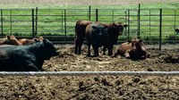 These feedlot cattle wait for a slaughter date because the coronavirus pandemic has backlogged slaughter capacity. (NDSU photo)