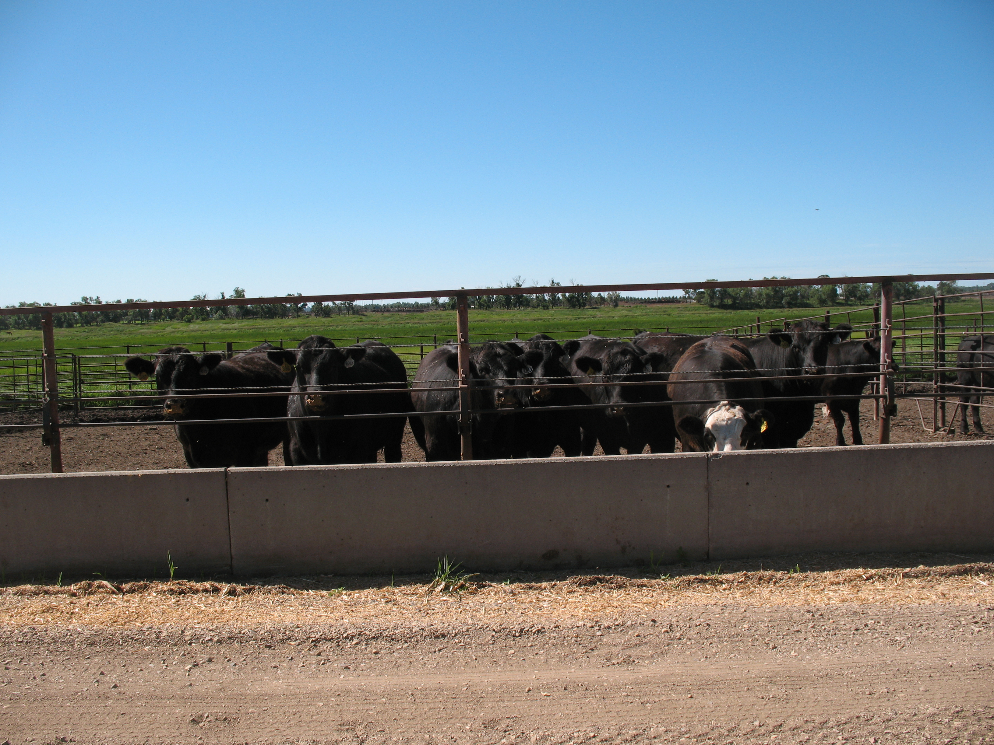 Alternative grains for feedlot cattle will be one of the topics that will be covered in the Carrington Research Extension Center's virtual beef production field day. (NDSU photo)