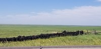 Cattle often stop grazing and bunch up in corners to fight flies. (NDSU photo)