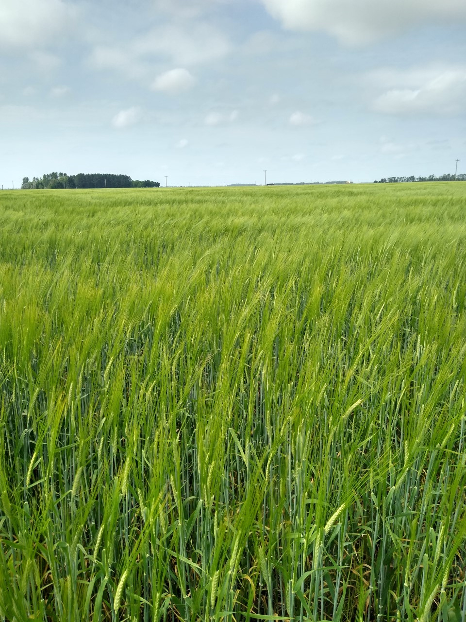 Small-grain varieties and diseases will be among the topics covered in the Agronomy Seed Farm's virtual field day. (NDSU photo)