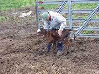The key to treating a calf with scours is to identify the problem and treat the animal early. (NDSU photo)