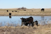Providing good-quality water can improve herd health. (NDSU photo)