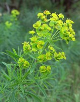 Leafy spurge is the most recognized noxious weed in North Dakota. (NDSU photo)