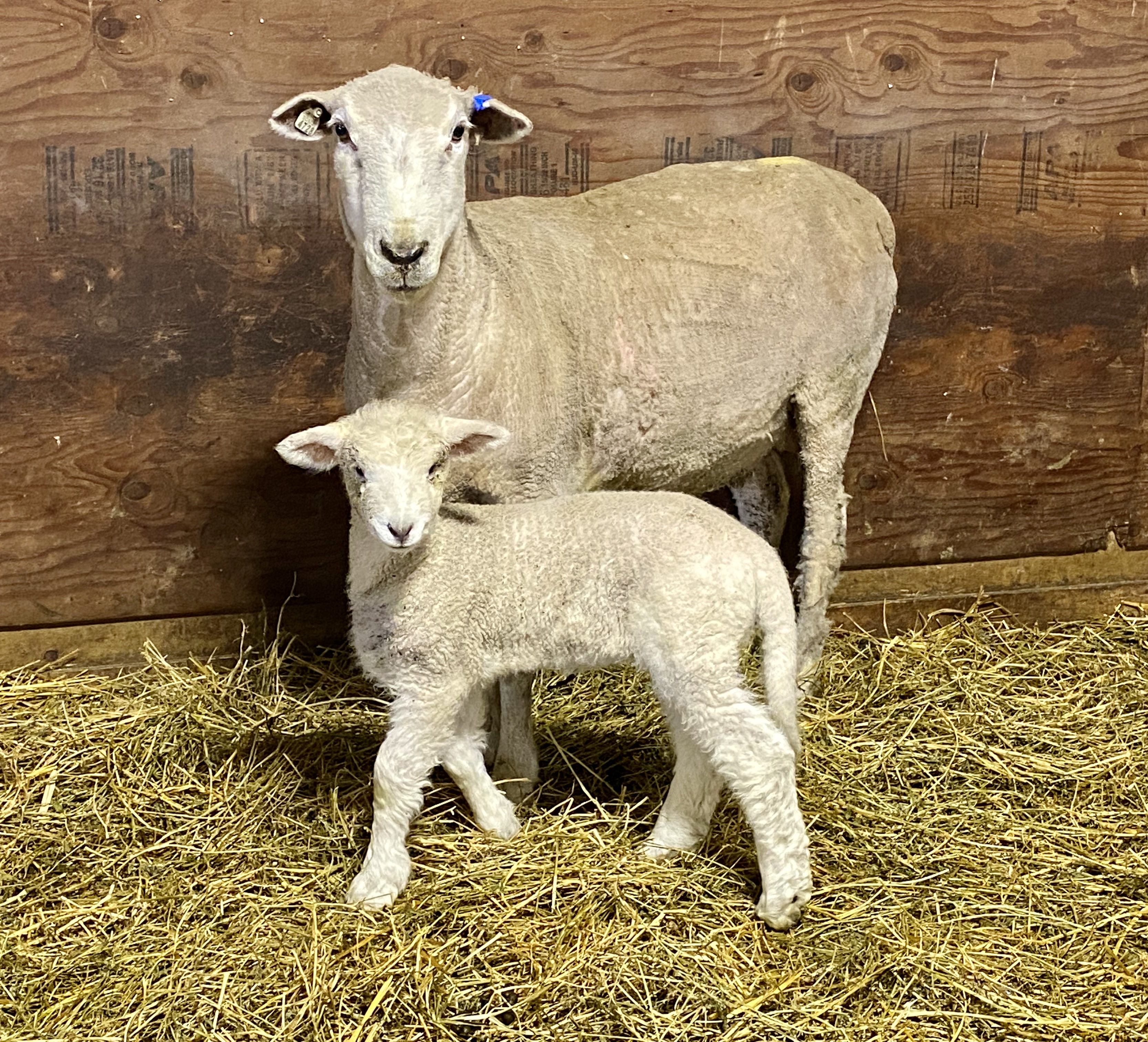 Sheep, lamb and wool industry updates will be among the topics covered during the joint North Dakota/Minnesota sheep convention. (NDSU photo)