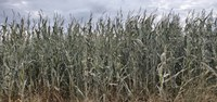 An early frost is challenging for corn silage production. (NDSU photo)
