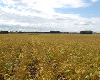 Weather conditions during field drying, after plants are frozen, impact the color of the harvested soybeans. (NDSU photo)