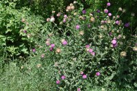 Fall is the ideal time to treat many weeds on the noxious thistle list, including musk thistle. (NDSU photo)