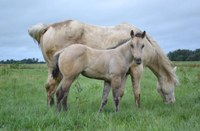 A mare and foal graze after being rotated recently to a fresh paddock in northeastern North Dakota. (NDSU photo)