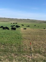 Yearling cattle graze on winter cereal forages in the spring. (NDSU photo)