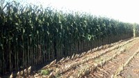 Some North Dakota producers may be harvesting corn for silage this year. (NDSU photo)