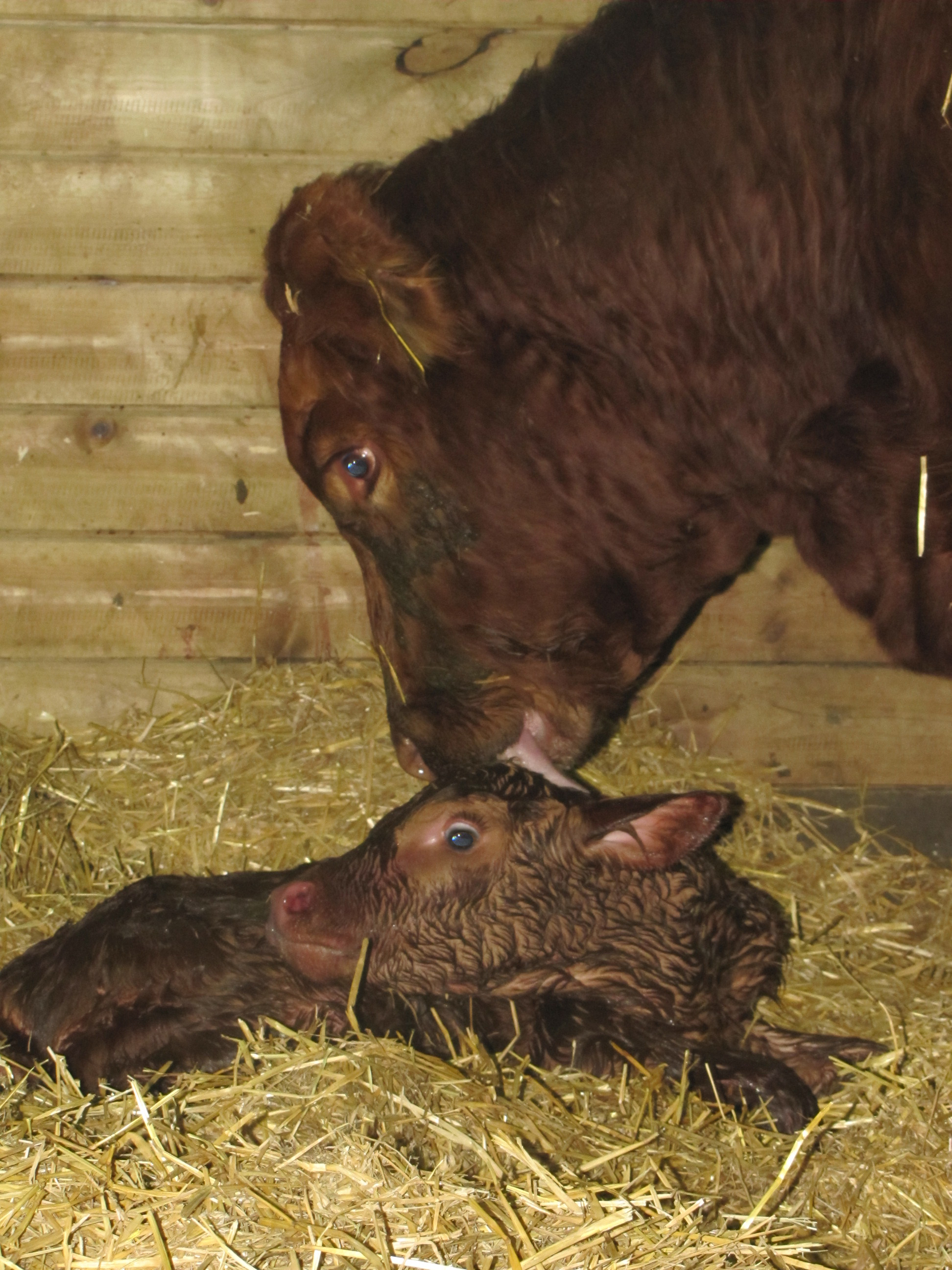 The newborn calf's ability to cope with cold weather means the calf needs to rise quickly after birth and find its food and life source from its mother. (NDSU photo)