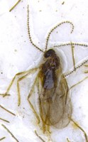 The adult canola flower midge is a small, nondescript brown fly. (NDSU photo)