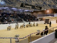 Sheep showmanship contestants compete during the 95th Little International on the NDSU campus.