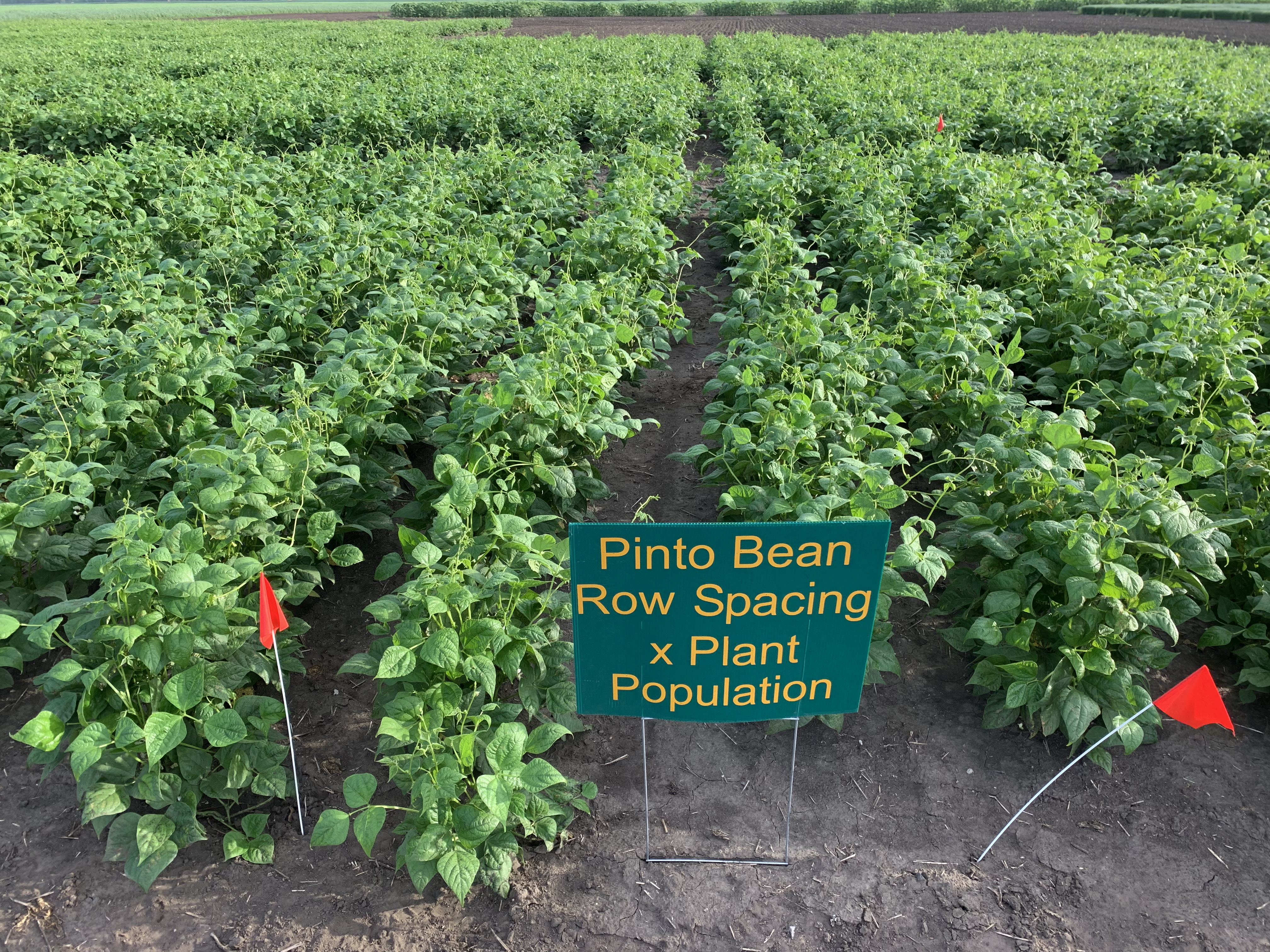 These pinto beans are part of a row spacing and plant population study. (NDSU photo)