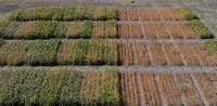 These plots are part of NDSU's soybean research. (NDSU photo)