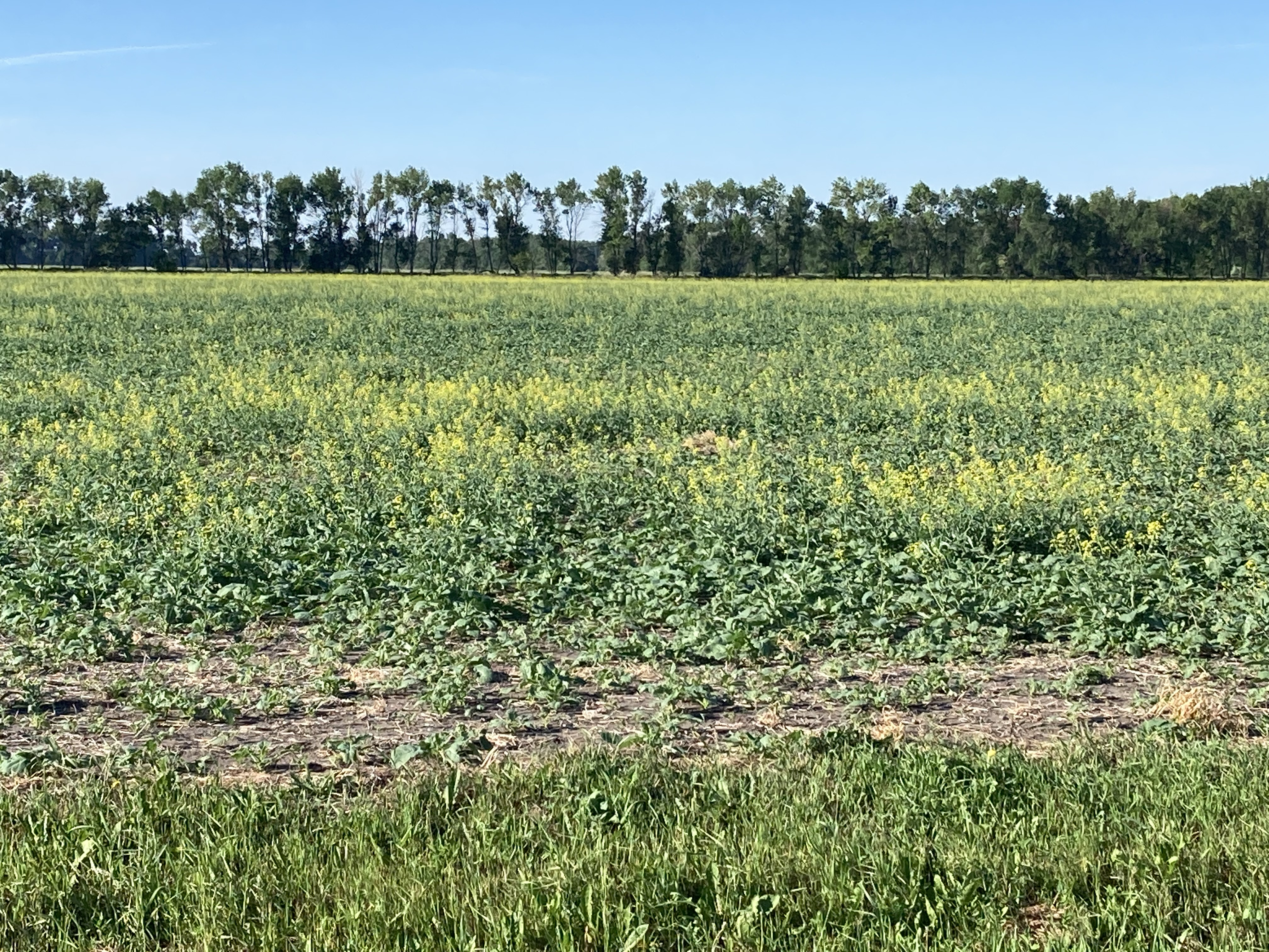 While it is important to be aware of risks associated with feeding canola forage, it may provide an alternate forage option for drought-stricken livestock producers. (NDSU photo)