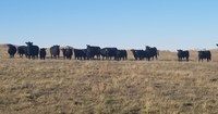 North Dakota livestock producers are facing forage quality and quantity issues because of the drought. (NDSU photo)