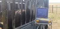 An ultrasound is one way of checking cows' pregnancy early. (NDSU photo)