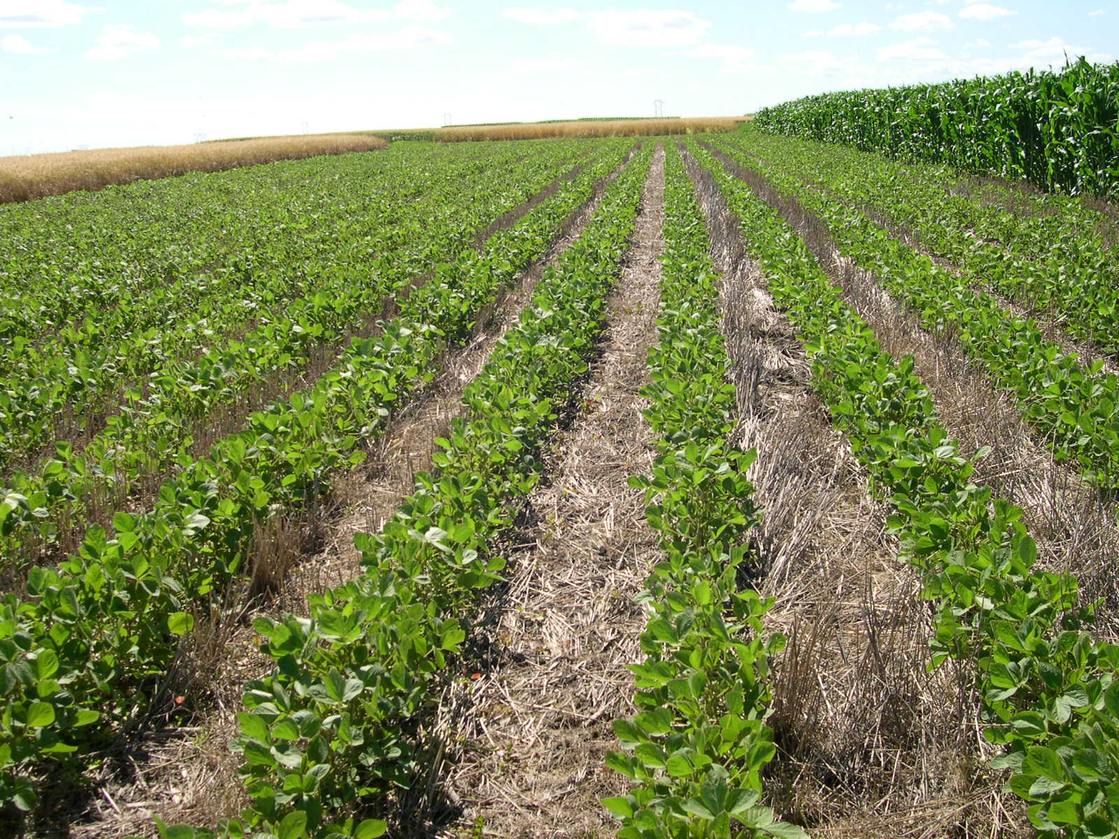 Soybeans are among the nontraditional sources of forage that producers are thinking about using this year for livestock feed. (NDSU photo)