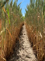 This drought-stressed wheat may have to be harvested as forage. (Photo courtesy of University of Minnesota Extension)