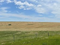 This spring wheat is being harvested for hay. (NDSU photo)