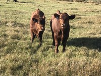 Early weaning can help reduce pressure on native pastures and extend forage supplies for adult beef cows. (NDSU photo)