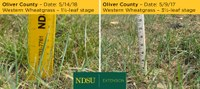 Western wheatgrass development is delayed because of drought in 2017. (NDSU photo)
