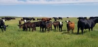 """The """"Mineral Nutrition for the Beef Cow Herd"""" program will give producers more information about specific mineral challenges on their ranch and how to deal with them effectively. (NDSU photo)"""