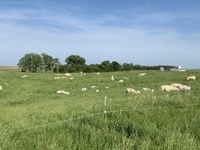 Sheep grazing in a pasture in central North Dakota are rotated to fresh grass frequently to help manage the parasite load. (NDSU photo)