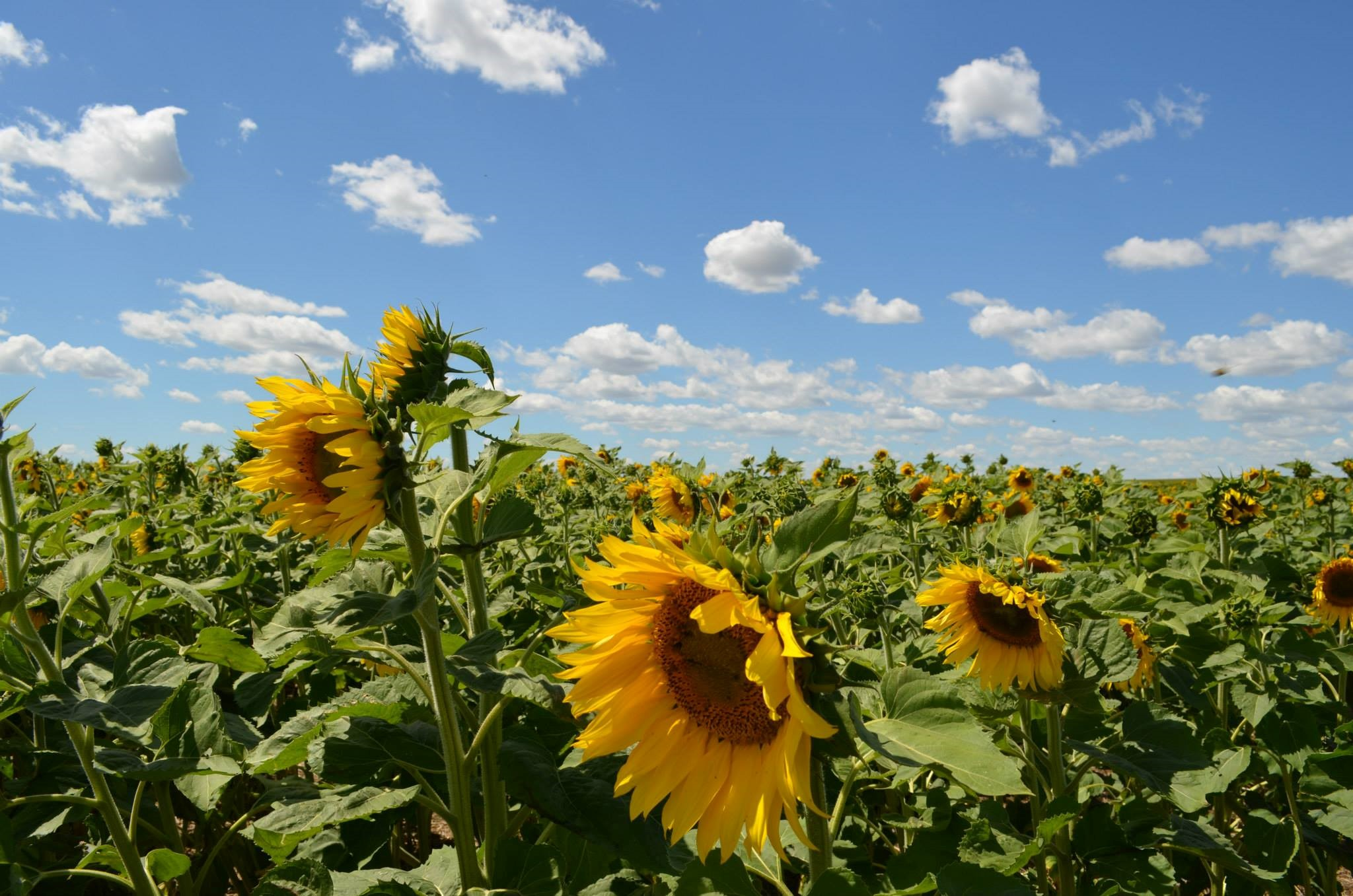 The National Sunflower Association survey measures yield components and factors that limit yield. (NDSU photo)