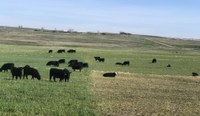 Establishing a winter cereal for grazing next spring will allow producers to delay pasture turnout, giving drought-stressed pastures more time to recover. (NDSU photo)
