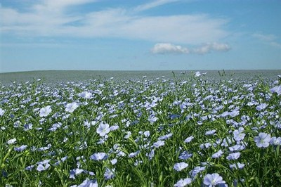 Flax field in bloom