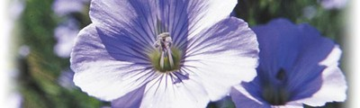 Flax flower - closeup