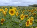 10 Sunflower field