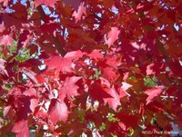 16 Red leaves