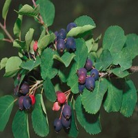 juneberries