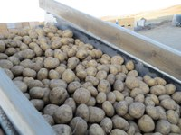 2013 Seed Potato Crop is Less than 2012